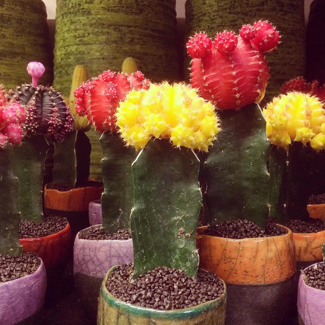 cactus gymnocalycium collors  plants domani desert sunny flowershop antwerp florartesantwerp
