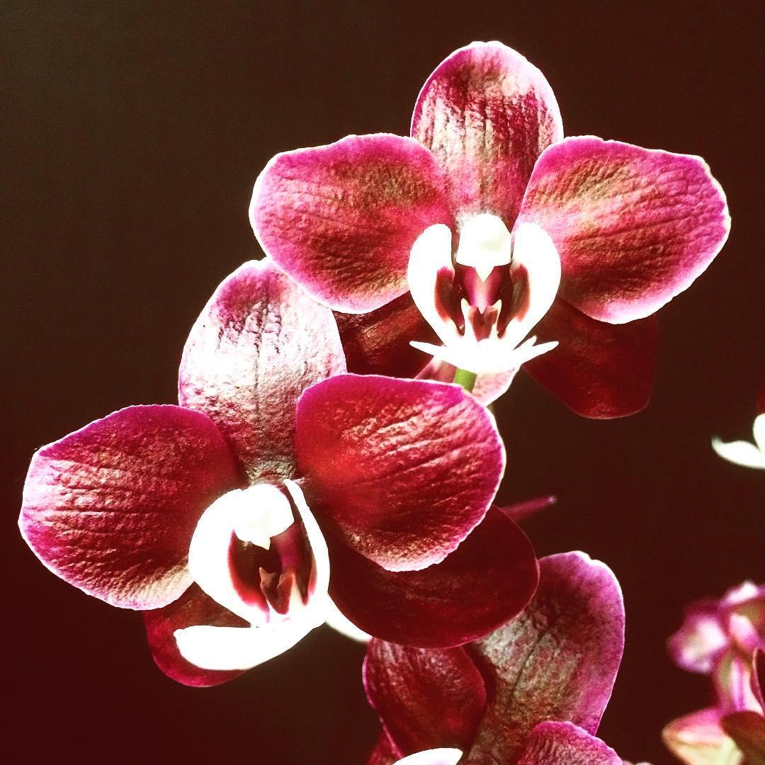 orchid phalaenopsis darkpurple black exotic plant flower flowershop antwerp florartesantwerp