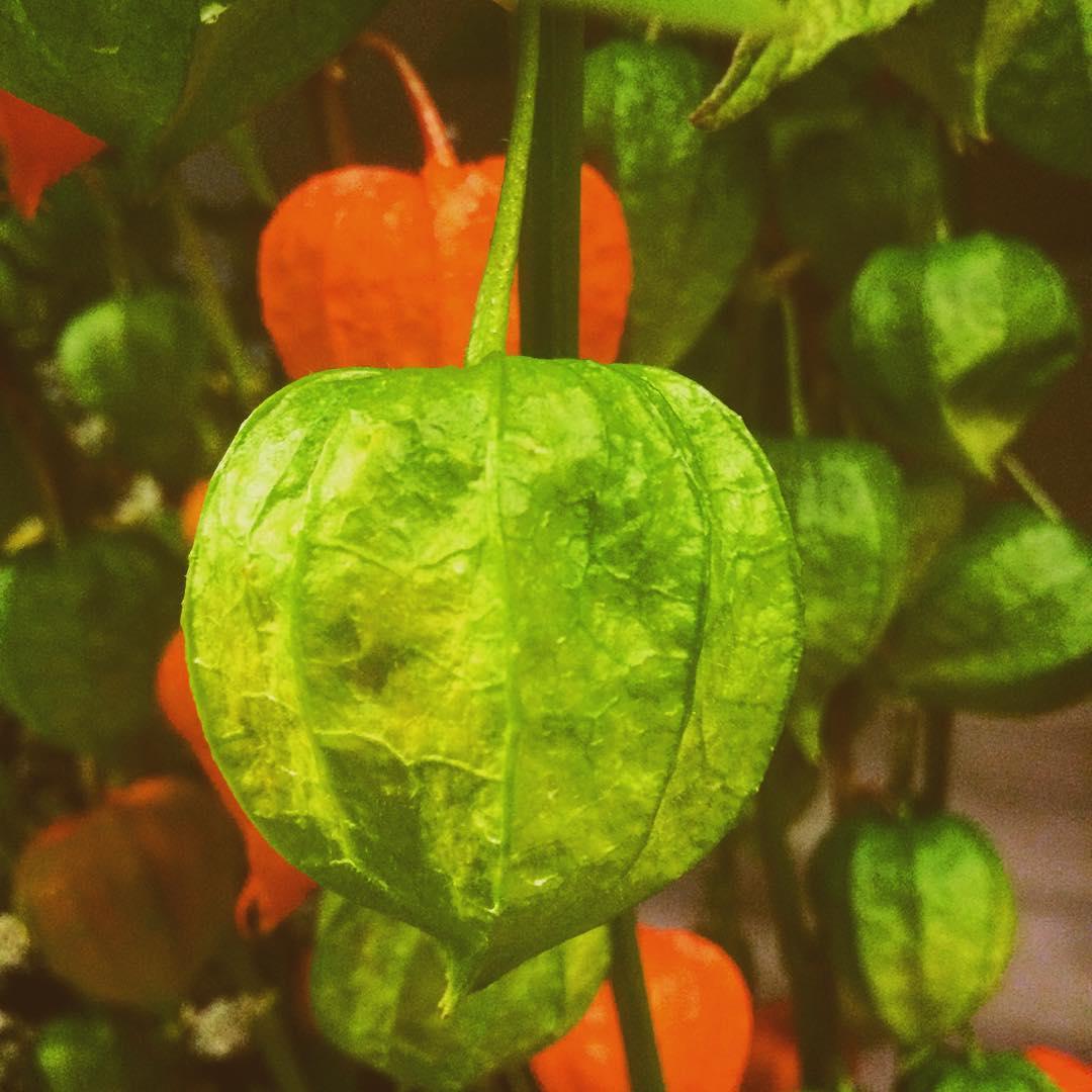 physalis green orange indiansummer flowers fruit seed flowershop antwerp florartesantwerp
