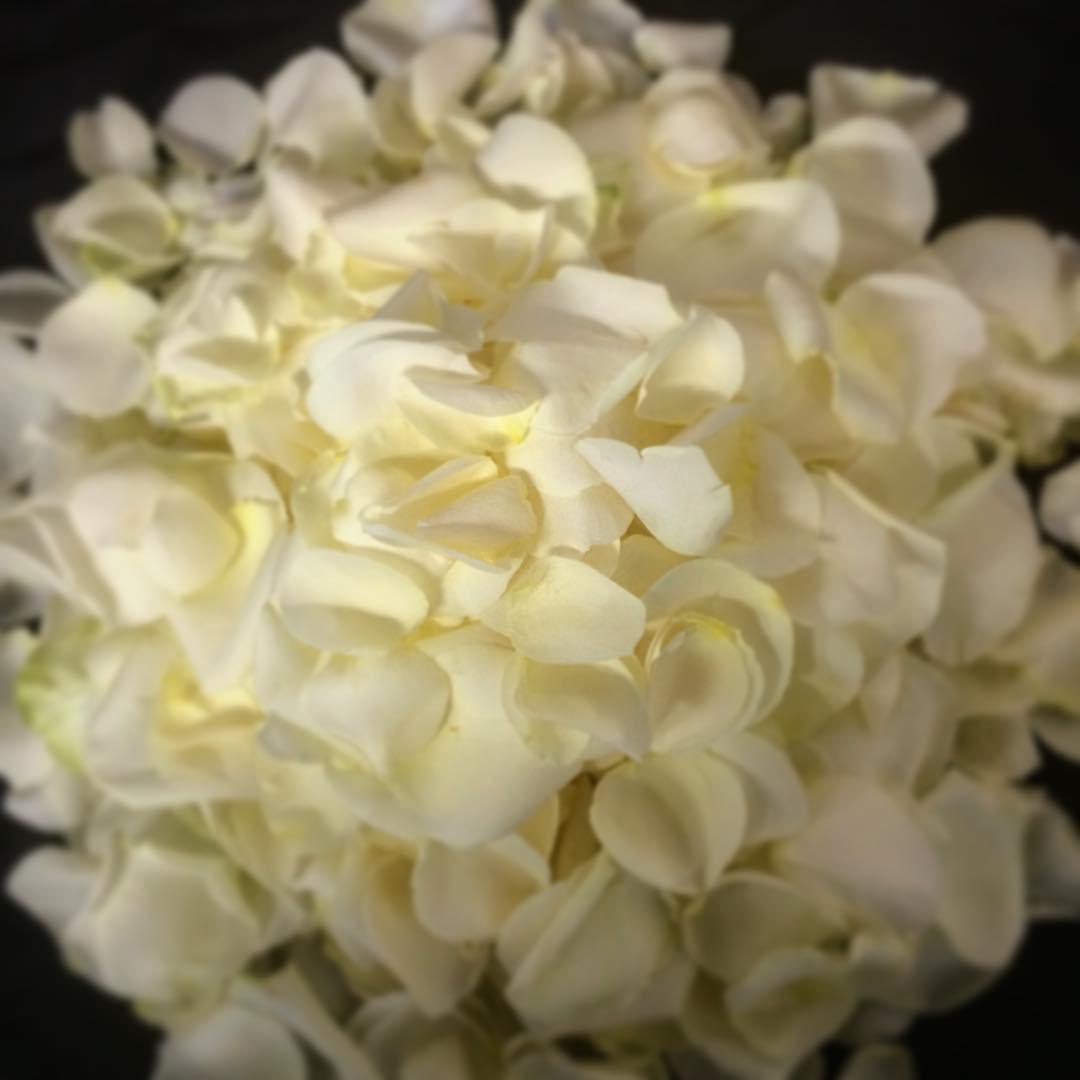 rosepetals offwhite wedding roses flowers flowershop antwerp florartesantwerp