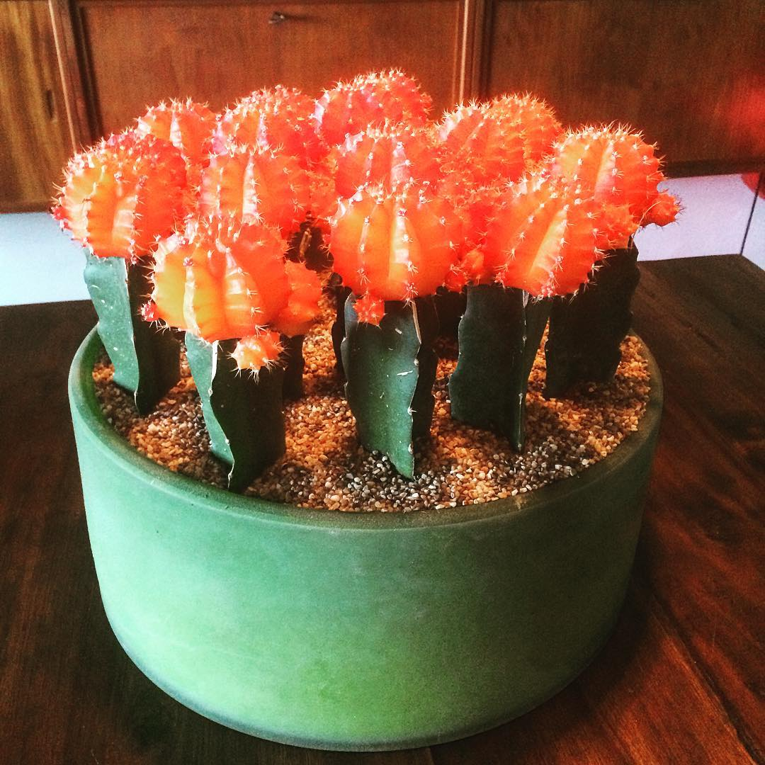 cactus gymnocalycium orange green henrydean retro home plants flowershop antwerp florartesantwerp