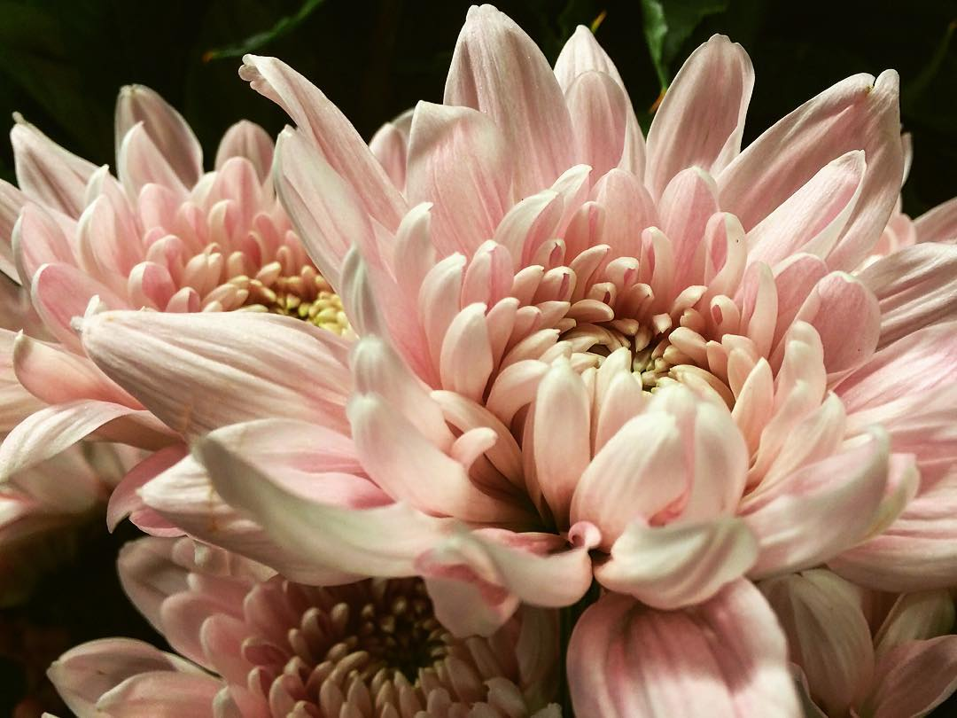 chrysantemum palepink flower autumn soft japan flowershop antwerp florartesantwerp