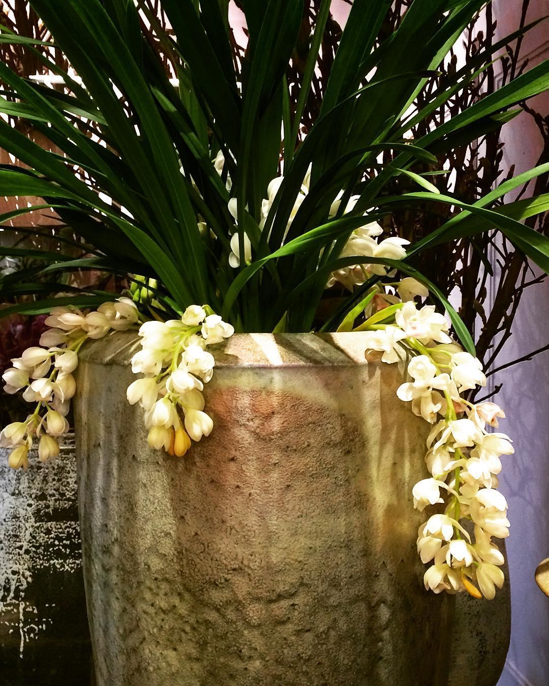 cymbidium orchid hanging mobach ceramics pot plant flowershop antwerp florartesantwerp