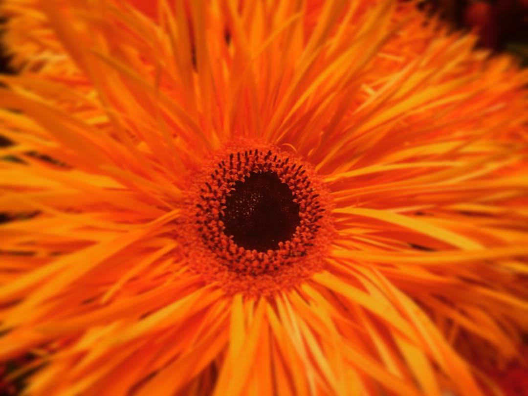 gerbera orange sunnyautumn flower special flowershop antwerp florartesantwerp