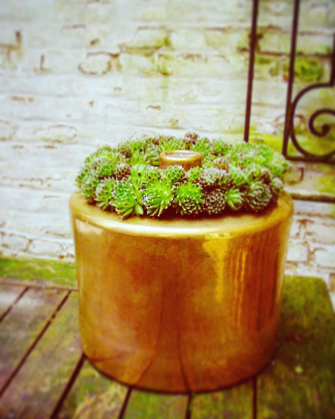 sempervivum plant outdoors vase ecri gold oldwall funeral autumn flowershop antwerp florartesantwerp