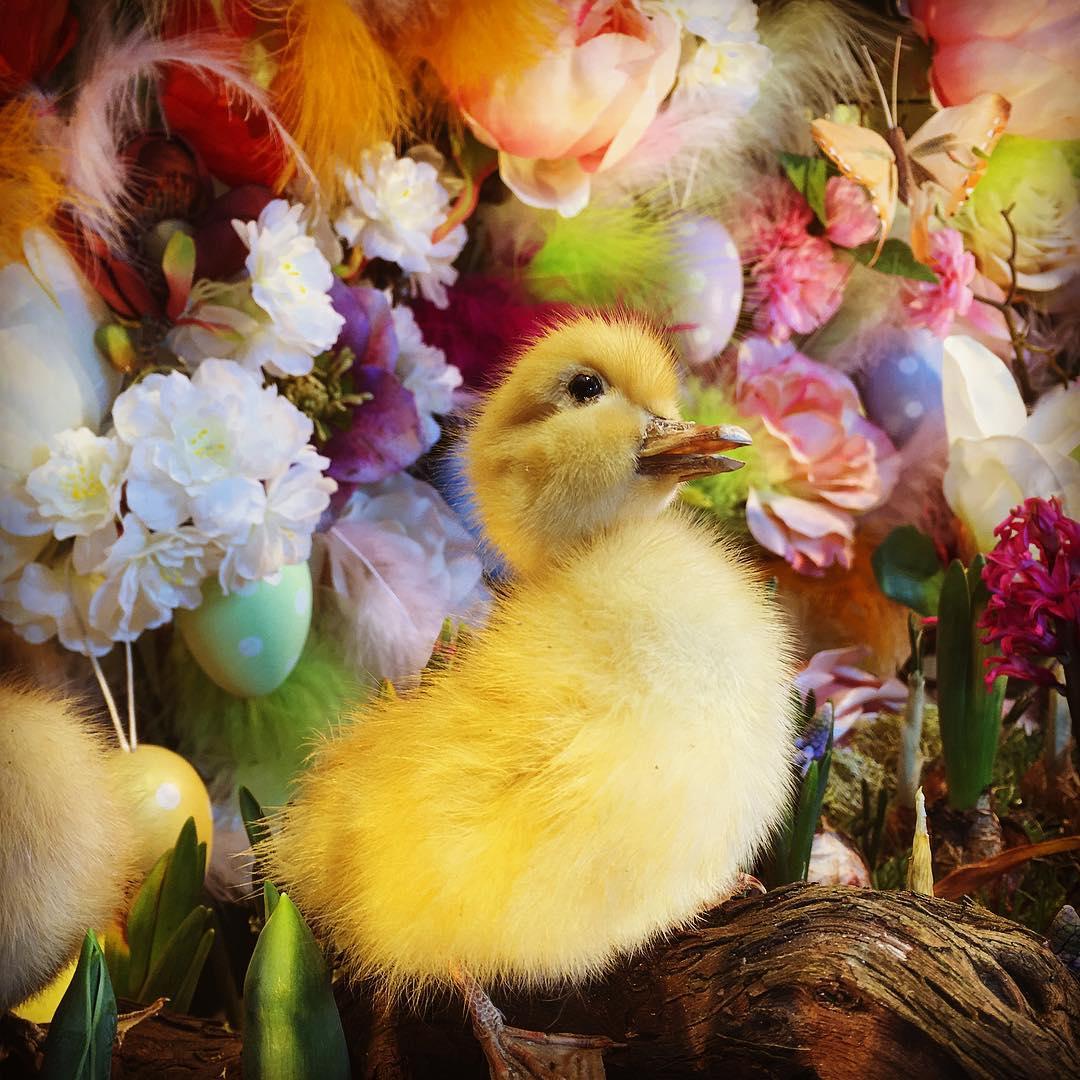 Easterduckling
