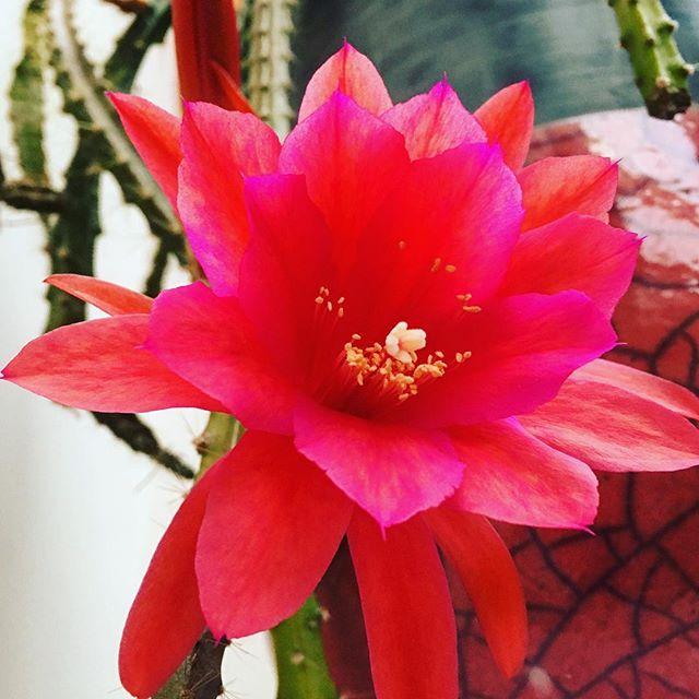 Stunning cactus flower