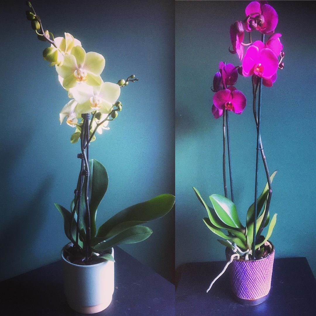 Lieve klanten, de leveringen aan huis lopen als een trein en daar zijn we heel blij om ! Naast onze kleurrijke boeketten , leveren we vanaf morgen ook deze prachtige orchideeën aan huis ! U kan kiezen uit een zachtgroene variëteit met rozig hartje in een zachtgroen strak Scandinavisch potje (30 eur) of een dieproos-paarse soort in een donkerroos reliëf potje (31,50 eur) . Stuur gewoon een mailtje naar info@florartes.be en wij leveren de volgende dag gratis in Antwerpen, Berchem en Wilrijk . We leveren eveneens op andere plaatsen tegen de tarieven van een koerier. Schenk uzelf of iemand anders wat kleur in huis tijdens deze lockdown periode