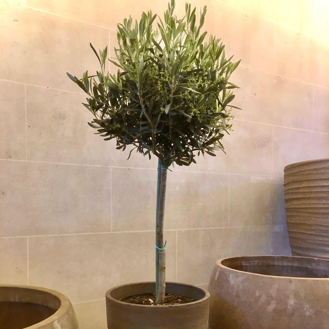 Als we deze zomer niet naar het zuiden kunnen, halen we het zuiden naar hier : deze mooi gevulde olijfboom in pot zorgt voor een mediterrane sfeer op elk zonnig terras . (H 120 Dpot 30 75 eur compleet) Bestellen kan op www.florartes.be