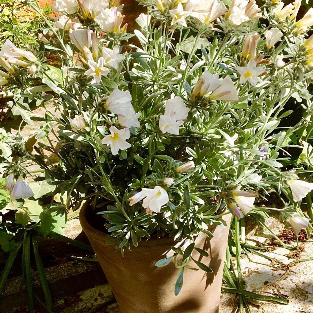 Convulvus is een mediterrane plant die bloeit tot september. Mits op een beschutte zonnige plaats, loods je deze prachtige zilvergrijze plant met witte bloemen door de winter. Bestel hem nu op www.florartes.be (H57 Dpot25 44 Eur compleet