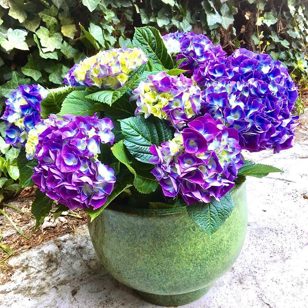 Hortensia is een echte klassieker. Met zijn dieppaarse bloemen fleurt hij elk terras of balkon op . De robuuste pot past perfect bij deze schaduwminnende winterharde plant. Bestel nu op www.florartes.be (plant : H47 D47 31 eur – pot H26 D32 47 eur – totaal : 78 eur